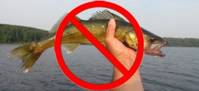 no walleye